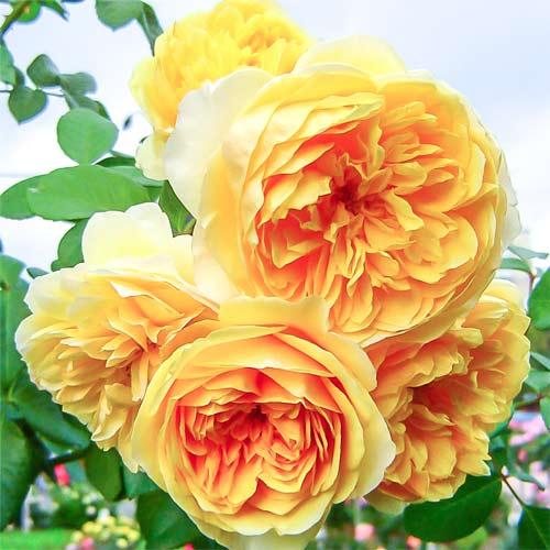 Троянда англійська Грехам Томас зображення 1 артикул 2214