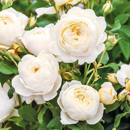 Роза английская Клэр Остин рисунок 1 артикул 2216