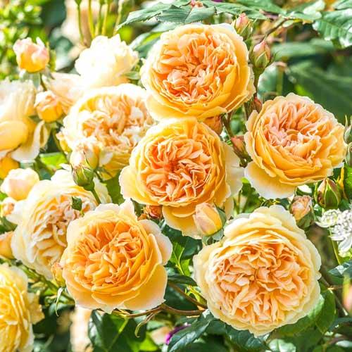 Роза английская Корона Принцессы Маргарет рисунок 1 артикул 2217