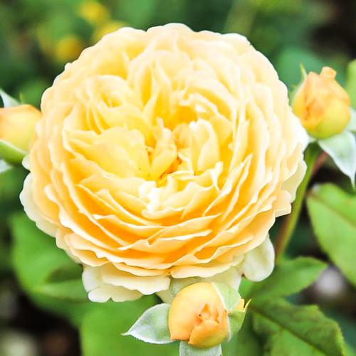 Роза английская Корона Принцессы Маргарет рисунок 2 артикул 2217