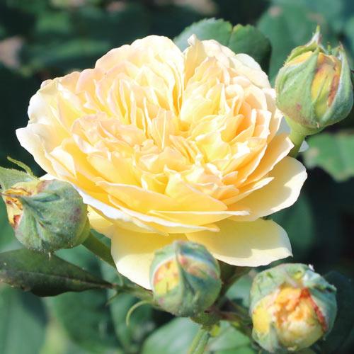 Роза английская Корона Принцессы Маргарет рисунок 3 артикул 2217