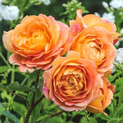 Троянда англійська Леді оф Шалот зображення 1 артикул 2220