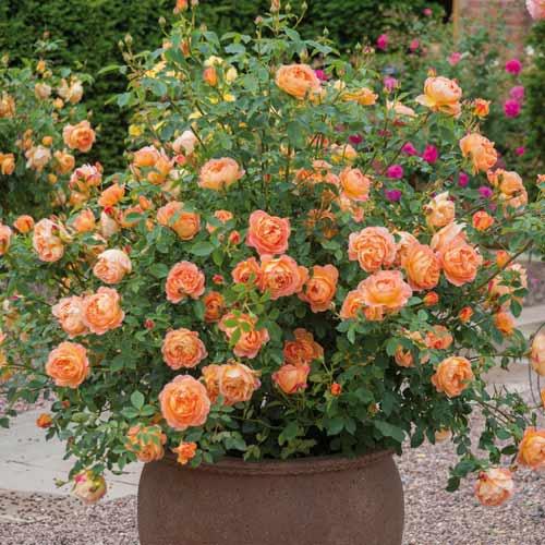 Троянда англійська Леді оф Шалот зображення 2 артикул 2220