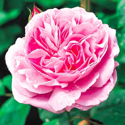 Троянда англійська Мері Роуз зображення 1 артикул 2221