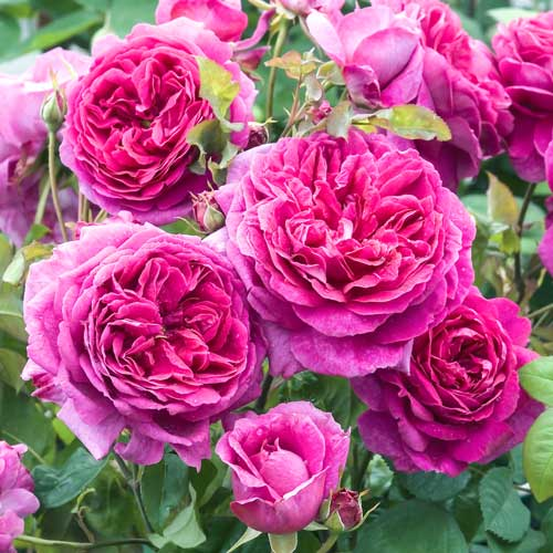 Троянда англійська Пінк Леді зображення 1 артикул 2224