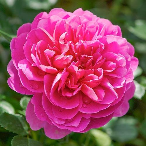 Троянда англійська Принцеса Анна