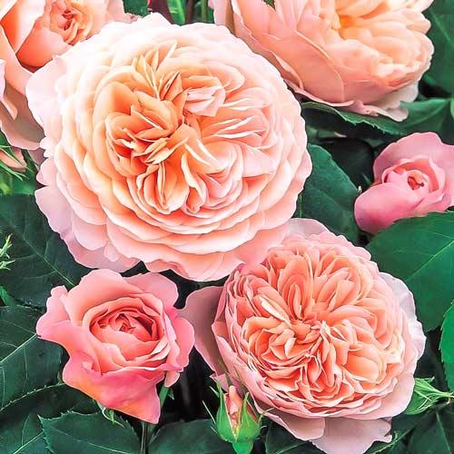 Роза английская Вильям Моррис рисунок 1 артикул 2212