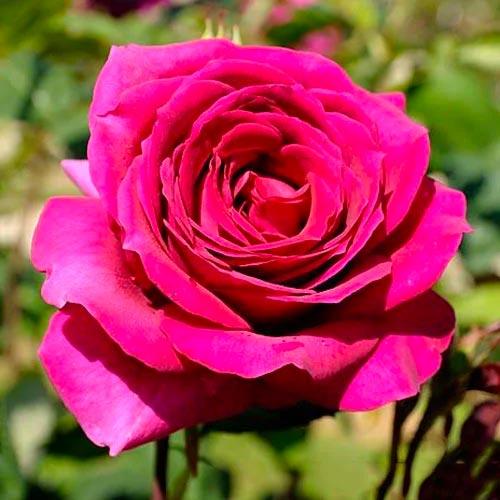 Троянда чайно-гібридна Біг Перпл