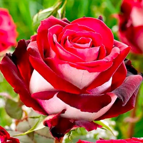 Роза чайно-гибридная Биколетте рисунок 1 артикул 2106