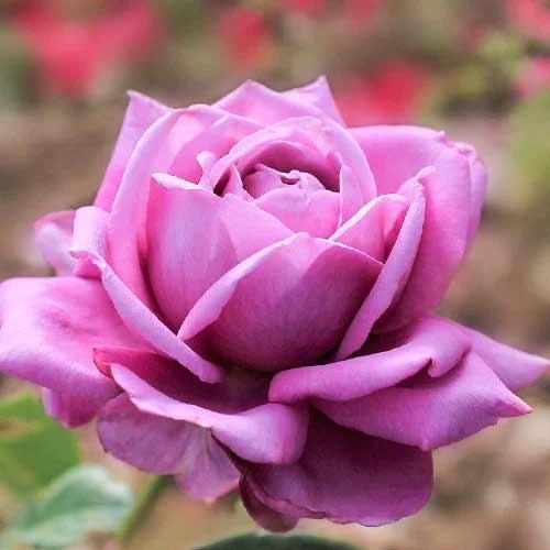 Троянда чайно-гібридна Блю Парфюм зображення 1 артикул 2108