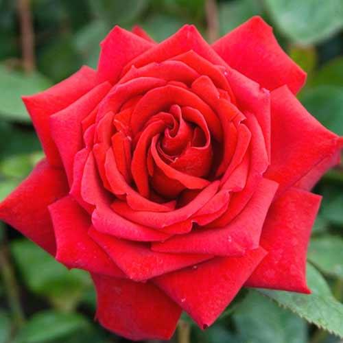 Троянда чайно-гібридна Бургундія
