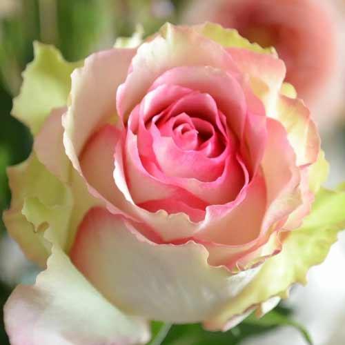 Роза чайно-гибридная Дансинг Квин рисунок 1 артикул 2116
