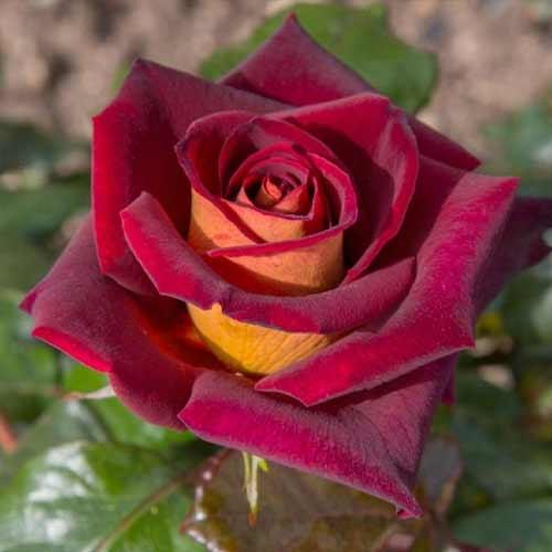Троянда чайно-гібридна Едді Мітчел зображення 1 артикул 2143