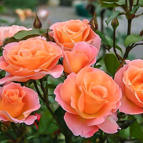 Троянда чайно-гібридна Екзотика зображення 1 артикул 2144
