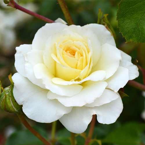Роза чайно-гибридная Элина рисунок 1 артикул 2145