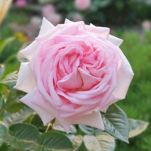 Роза чайно-гибридная Эмезинг Грейс рисунок 1 артикул 3515