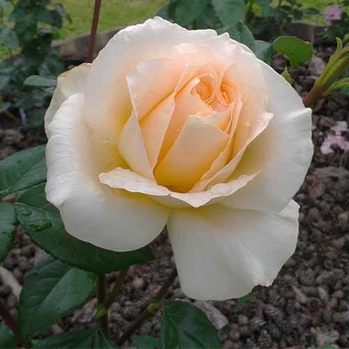 Роза чайно-гибридная Казанова рисунок 1 артикул 2120