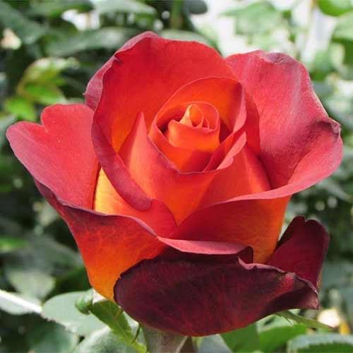 Троянда чайно-гібридна Кофе Брейк зображення 1 артикул 2122