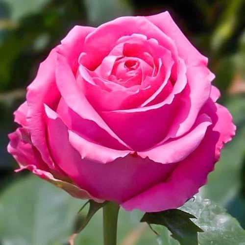 Роза чайно-гибридная Королева красоты рисунок 1 артикул 2121