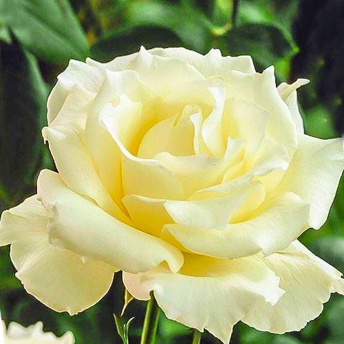 Роза чайно-гибридная Ла Перла рисунок 1 артикул 3508