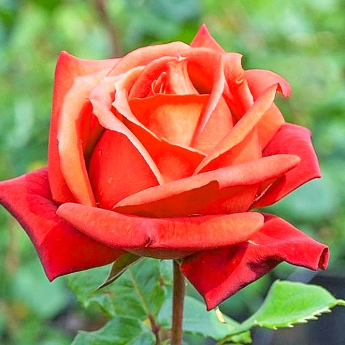 Роза чайно-гибридная Моника рисунок 1 артикул 2126