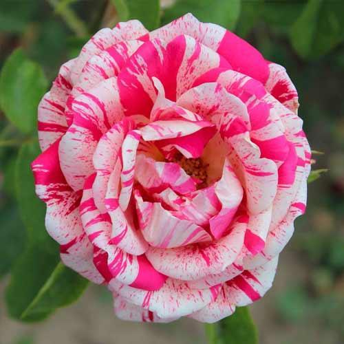 Троянда чайно-гібридна Папагено зображення 1 артикул 2129