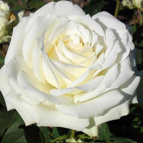 Роза чайно-гибридная Полярная звезда рисунок 1 артикул 2132