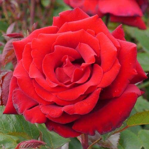 Троянда чайно-гібридна Ред Берлін зображення 1 артикул 2133
