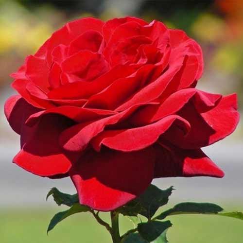 Троянда чайно-гібридна Роял Віл'ямс зображення 1 артикул 2136