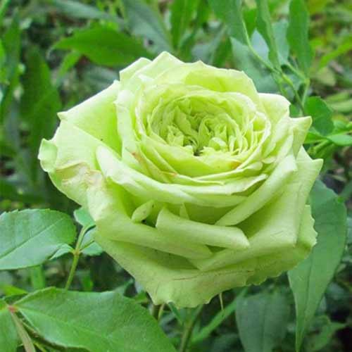 Троянда чайно-гібридна Супер Грін зображення 1 артикул 2138