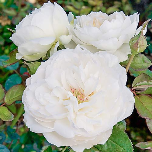 Троянда флорібунда Болеро