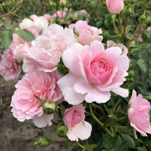 Троянда флорібунда Боніка зображення 1 артикул 2211
