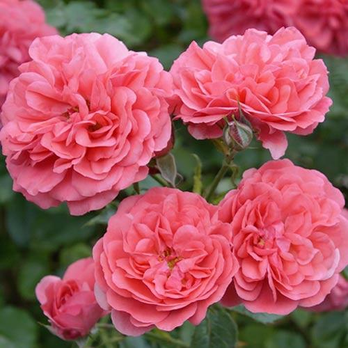 Троянда флорібунда Черрі Герл зображення 1 артикул 2203