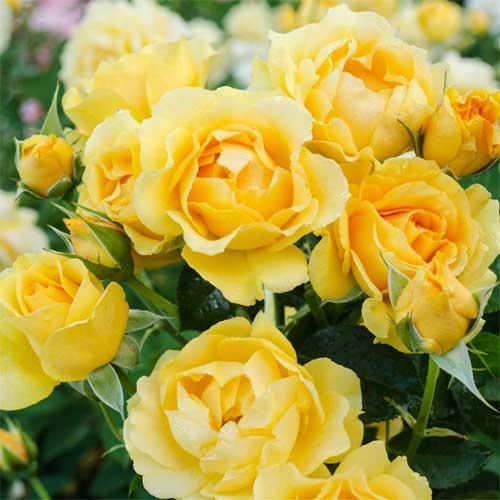 Троянда флорібунда Джулія Чайлд зображення 1 артикул 2192