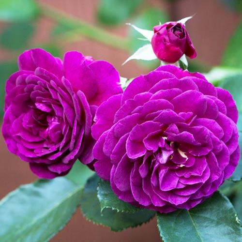Троянда флорібунда Ебб Тайд