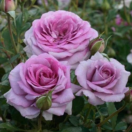 Троянда флорібунда Лав Сонг