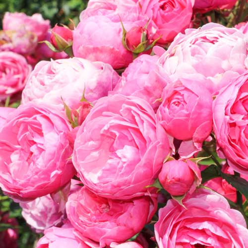 Троянда флорібунда Помпонелла