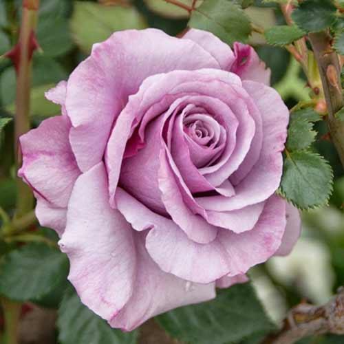 Троянда чайно-гібридна Новаліс зображення 1 артикул 2127