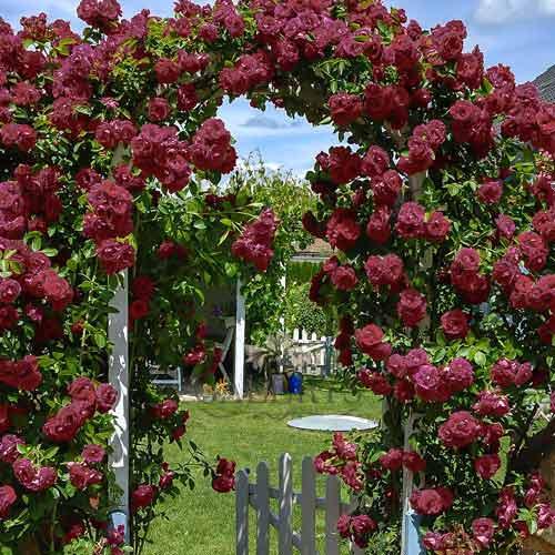 Троянда плетиста Чорний принц зображення 1 артикул 2184