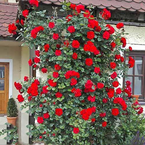 Троянда плетиста Дівочі мрії зображення 1 артикул 2160