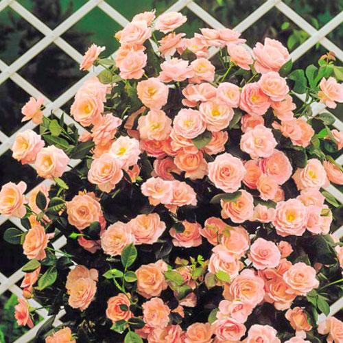 Роза плетистая Глория Клайминг рисунок 1 артикул 2155