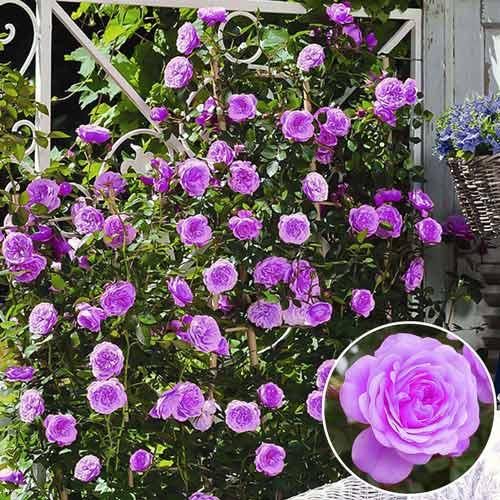 Троянда плетиста Блакитна мрія