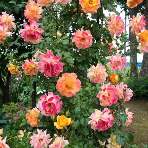 Троянда плетиста Імпресіоніст