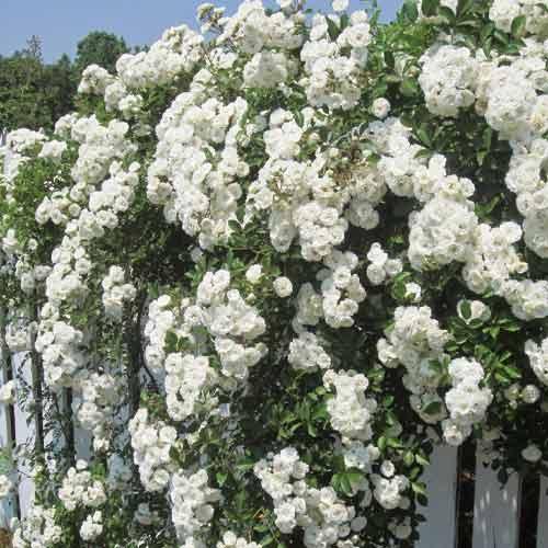 Троянда плетиста Мон Блан зображення 1 артикул 2170