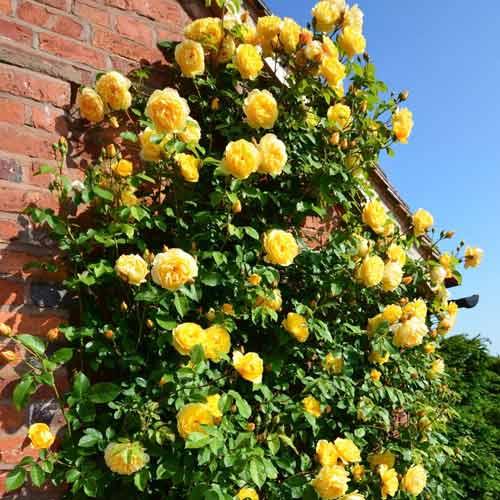 Троянда плетиста Казино зображення 1 артикул 2165