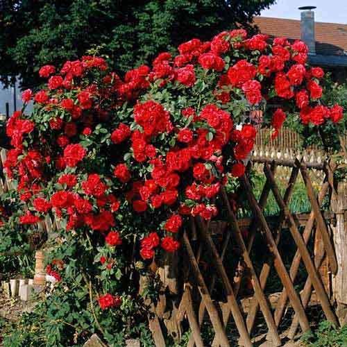 Троянда плетиста Малинова велика