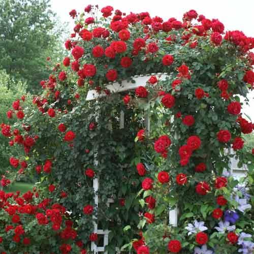 Троянда плетиста Мушимара зображення 1 артикул 2171