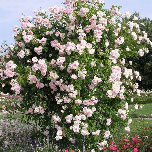 Троянда плетиста Нью Доун зображення 1 артикул 2172