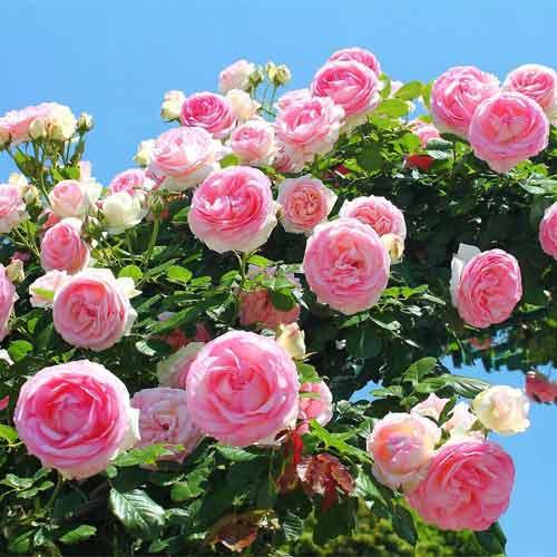 Роза плетистая Розовая крупная рисунок 1 артикул 2182