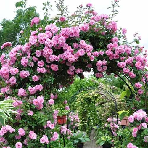 Роза плетистая Си-Си рисунок 1 артикул 3521